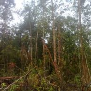 bekerja membuka lahan hutan